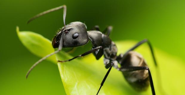 zombie-ant