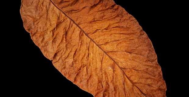 tobacco-leaf