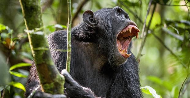 chimpanzee-violence